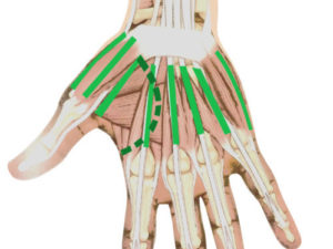 stage massage thai, lignes musculaires